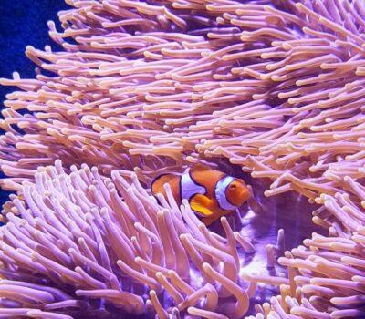 Clownfish-819x1024-400x350