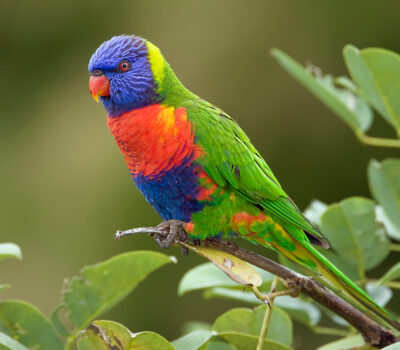 Rainbow-Lorikeet-Pictures-400x350